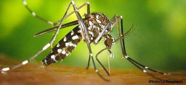 moustique tigre portail d 39 information. Black Bedroom Furniture Sets. Home Design Ideas