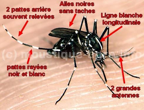 photos du moustique tigre moustique tigre portail d 39 information. Black Bedroom Furniture Sets. Home Design Ideas