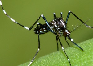 asian_tiger_mosquito