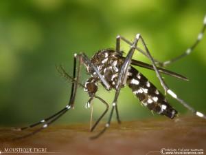 moustique-tigre-fond-ecran