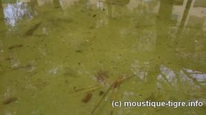 Larves de moustiques dans un bassin en plein centre ville
