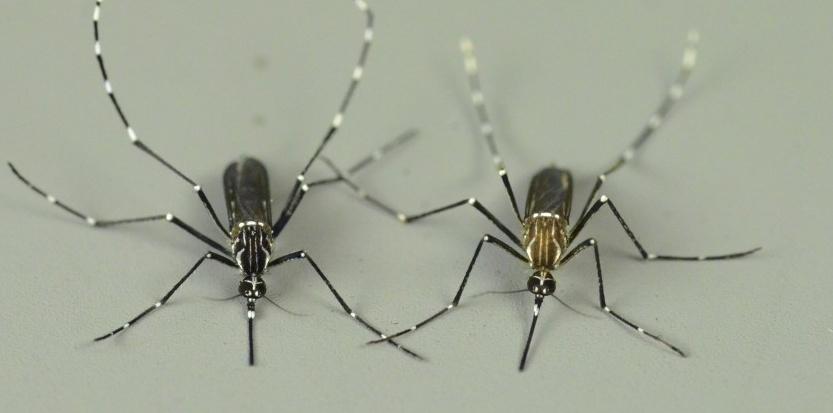 pourquoi le moustique est il attire par le sang humain moustique tigre portail d 39 information. Black Bedroom Furniture Sets. Home Design Ideas