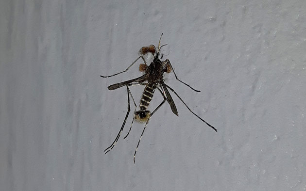 pas moustique tigre