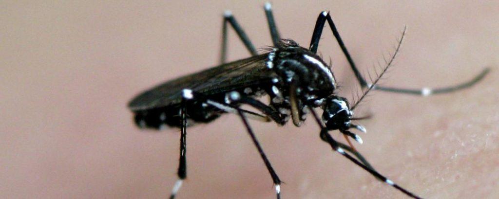 moustique tigre chikungunya