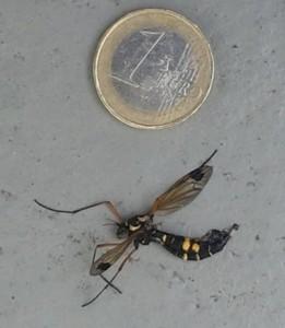 moustique-raye-jaune-noir-ctenephora