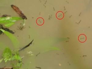 larves moustiques