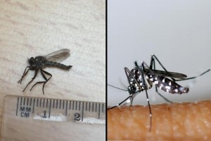 moustique-tigre-mouche-a-toison-asilide