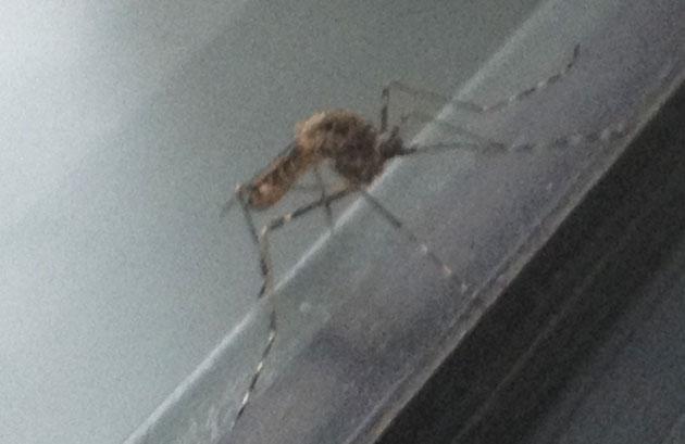 pas-moustique-tigre-4