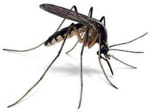 Aedes Caspius