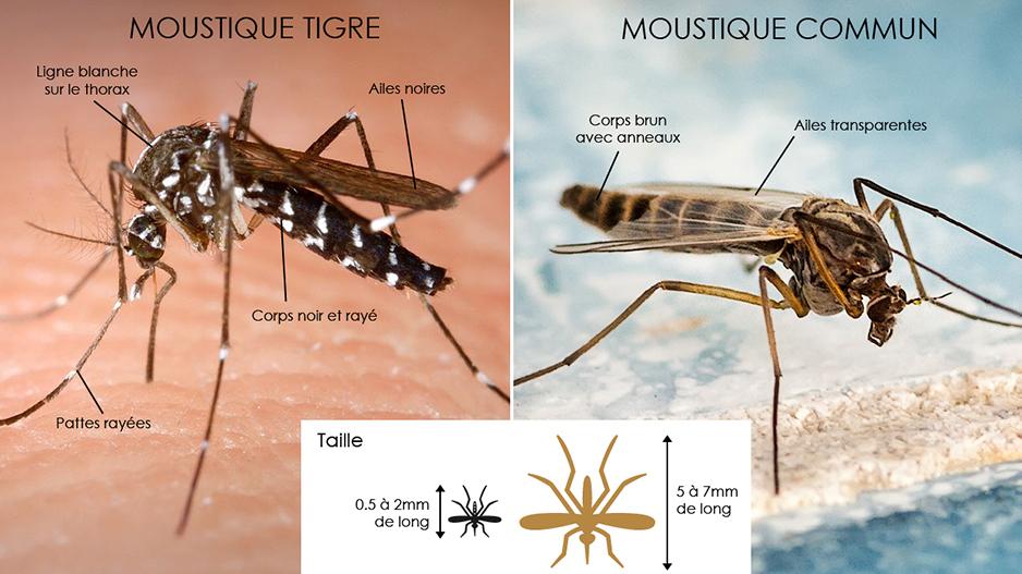 Moustique tigre versus moustique commun